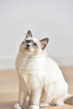 white cats: Portrait of Sacred of Birmanie kitten, cat Stock Photo