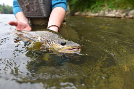 brown trout: Fly fisherman holding brown trout out of water Stock Photo