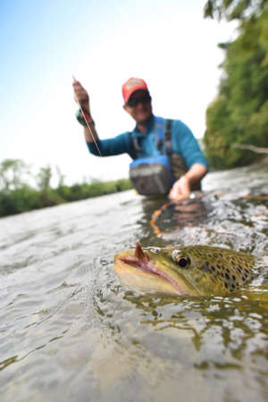 brown trout: Closeup of brown trout being caught by flyfisherman Stock Photo