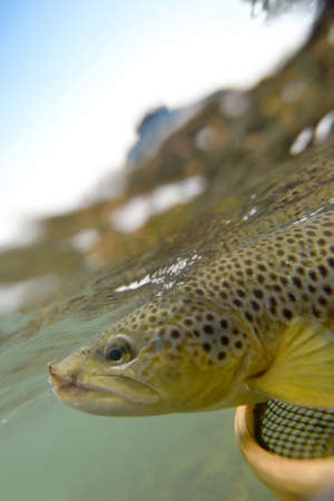 brown trout: Closeup of brown trout being caught, underwater