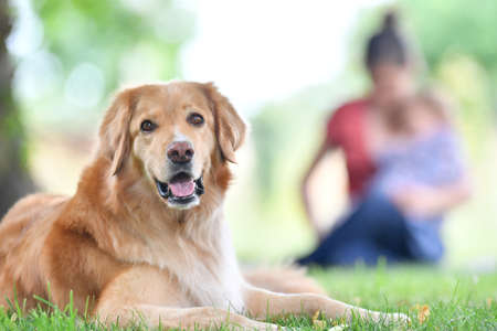 Golden retriever dog in park, people in background 스톡 콘텐츠