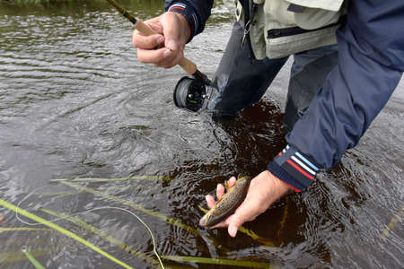 brown trout: Fly-fisherman catching brown trout in river