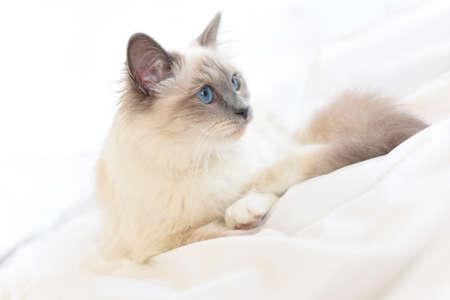 Closeup of Sacre de Birmanie cat, relaxing on bed