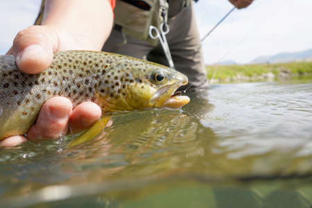 brown trout: Closeup of brown trout caught in Montana state river Stock Photo