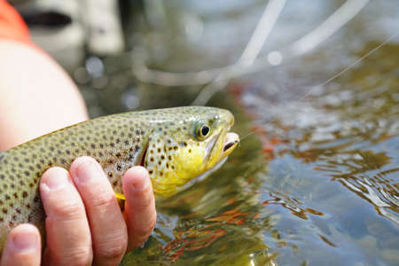 brown trout: Closeup of brown trout being caught by fisherman Stock Photo
