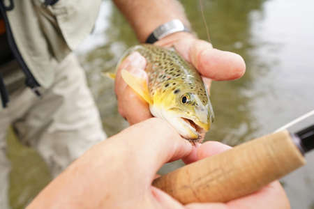 brown trout: Closeup of brown trout being caught by fly fisherman