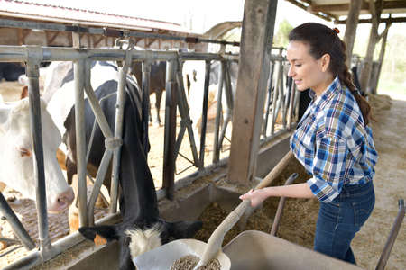 Stock breeder feeding cows in barn Фото со стока - 99423614