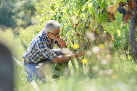Winegrower checking vineyard rows and grapes Stock Photo