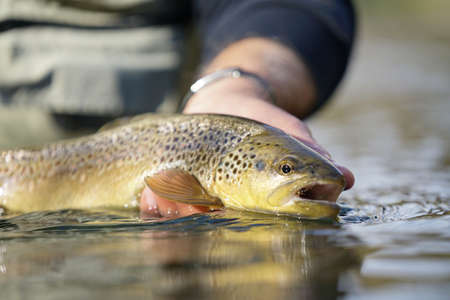 catching a brown trout by a fly fisherman Reklamní fotografie