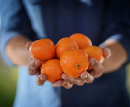 Close up of local farmers hands holding organic oranges and clementines