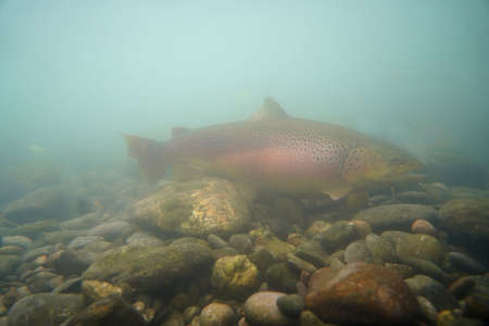 big brown trout alive in the river