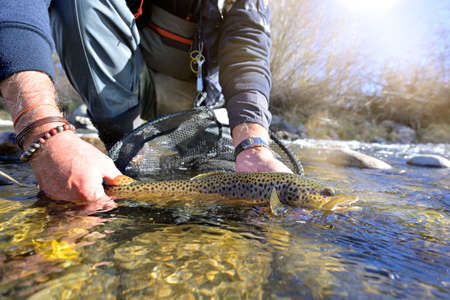 Taking a beautiful brown trout with a fly Banco de Imagens