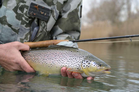 catch of a beautiful brown trout with fly