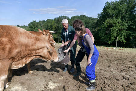 Farmer with young apprentice feeding cows