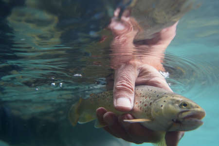 catch of a brown trout with fly fishing in very clear water