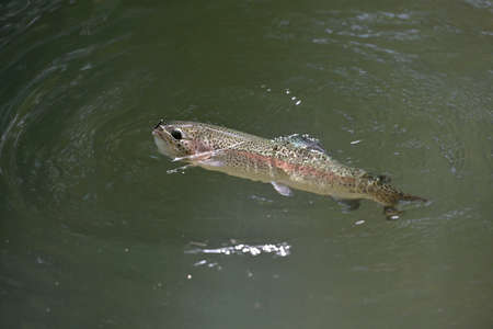 beautiful rainbow trout gobbling in a clear river