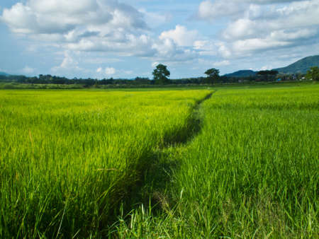 This is a way in green rice field and backgroud sky photo