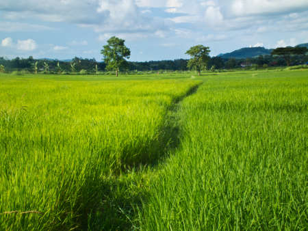 This is a way in green rice field and backgroud sky Stock Photo - 10487973