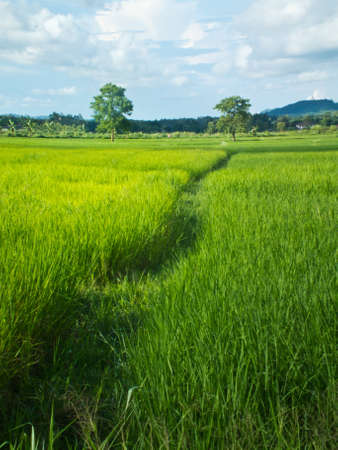 This is a way in green rice field and sky backgroud Stock Photo - 10487970