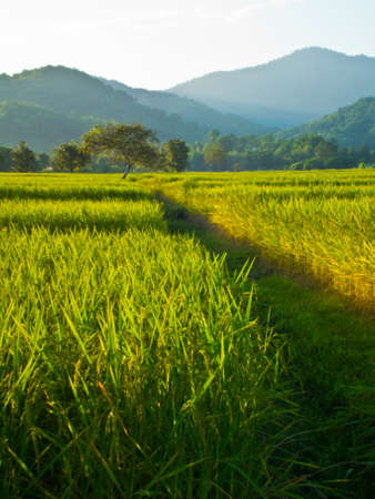 This is road to tree live in rice field Stock Photo - 11270297