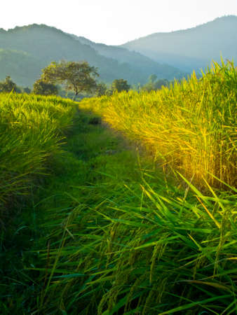 This is road to tree live in rice field Stock Photo - 11270300