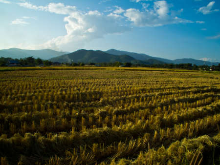 This is a rice field in the evening time Stock Photo - 11488958