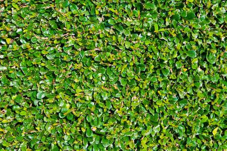 this is a shrub since name is Carmona retusa photo