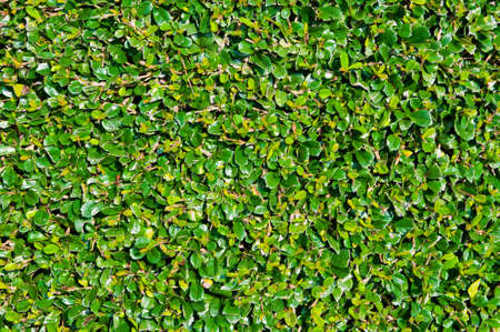 carmona: this is a shrub since name is Carmona retusa