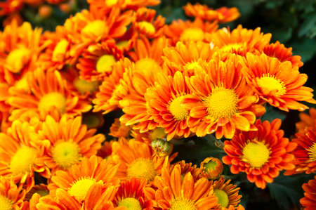 This is a flowers call name is Chrysanthemum photo