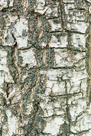 this is bark texture have a gray color