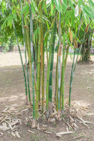 This is a Bamboo clump ,Its have green color