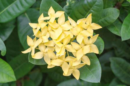 Yellow Ixora Flower on green leaf background