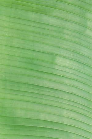green banana leaf texture, line
