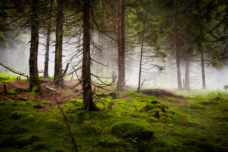 coniferous forest: Twilight in the wild coniferous forest  Thick fog Stock Photo