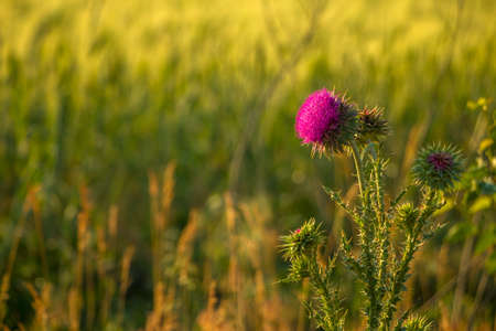 Summer field at sunset. Burdock flower with spines
