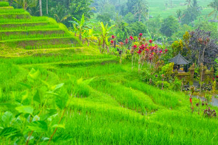Indonesia. Cloudy summer evening on the Bali island. Green terraces of rice fields. Small chapel surrounded by large flowers