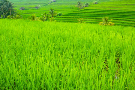 Indonesia. Evening terraces of rice fields. Huts and palm trees 写真素材
