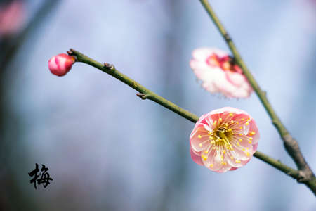 wintery snowy:  plum blossom Stock Photo