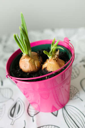 Early spring green onions growing in a bright pink pot. Preparing for Easter at home. Eco ideas. Growing plants for garden with family and children.
