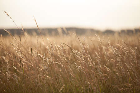 selective focus: Dry grass meadow in the sunset light. Evening landscape. Stock Photo