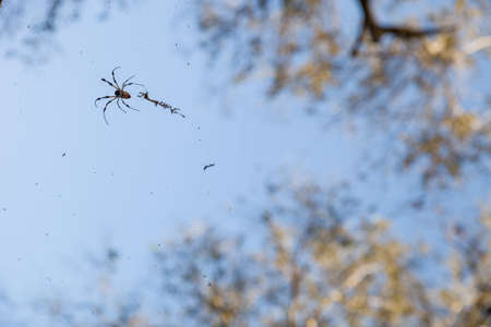 wood spider: Beautiful background of blue sky and high tree and close-up of a spider with with his web. Nature. Beautiful forest life.