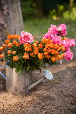 gist: Beautiful colored roses flowers in an old metal watering can on the ground in the garden. A bunch  of fresh cut orange and pink roses. Present, gift. Countryside background.