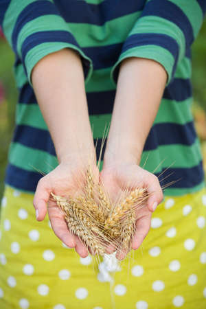 woman's hands: closeup of womans hands holding bunch of golden ears of wheat . Harvest. Summer. Farming.