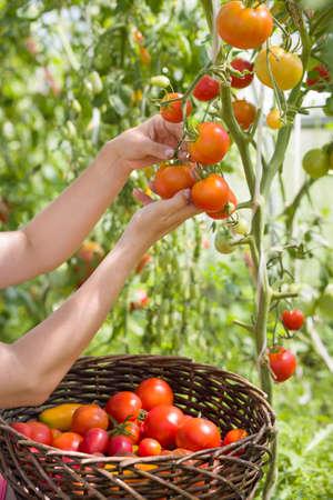 화창한 날에 그녀의 정원에서 신선한 유기농 토마토를 수확하는 여자의 손. 농부가 토마토 따기. 야채 성장. 원예 개념 스톡 콘텐츠