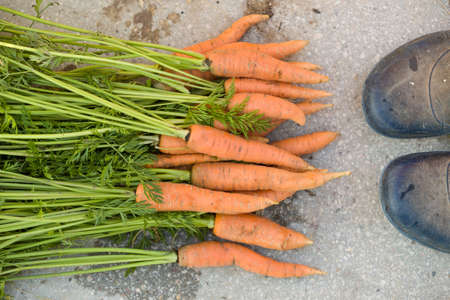 Top view on bunch of freshly picked organic carrots  and farmers shoes on concrete background. Garden harvest. Healthy food concept.