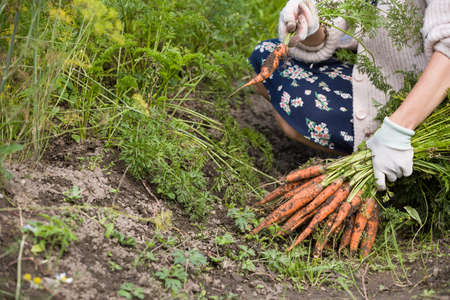 Closeup of womans hands holding bunch of freshly picked organic carrots. Gardening and farming. Harvest and healthy food concept Stock Photo