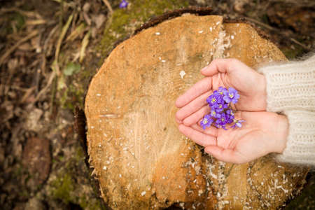 womans hand: Closeup of womans hand holding first spring flowers on old trees stump. primroses or snowdrops in the forest.