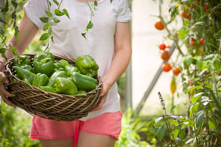 pesticides: Closeup of womans hands holding nice basket full of fresh organic paprika on garden background. Girl picking up vegetables in the greenhouse on sunny summer day. Healthy food concept