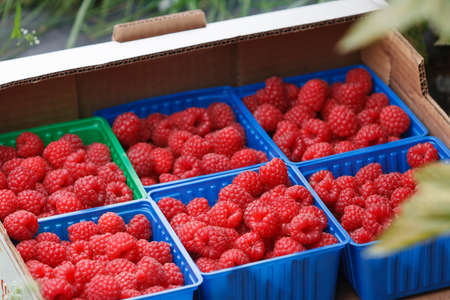 Juicy organic Norwegian raspberies in a coloful boxes. Fresh berries just picked up in the garden in a countryside ready for healthy snacks and desserts. Stock Photo