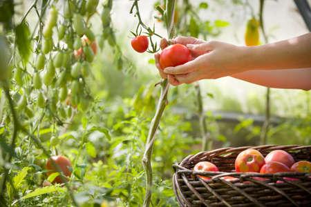 vrouw handen oogsten verse biologische tomaten in haar tuin op een zonnige dag. Boer plukken tomaten. Groente groeien. Tuinieren concept